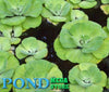 Water Lettuce, Rosette <br> (Minimum 3)