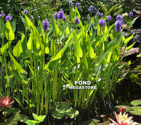 Royal Pickerel Rush <br> (Pontederia Dilatata) <br> Blooms spring til frost!