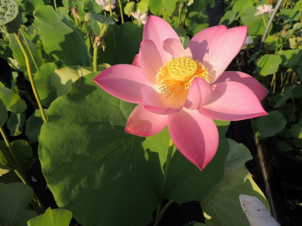 Russian Red Lotus <br> Large/Tall  <br> Favorite around the globe! <BR> Reserve Now for Spring 2020 Delivery!
