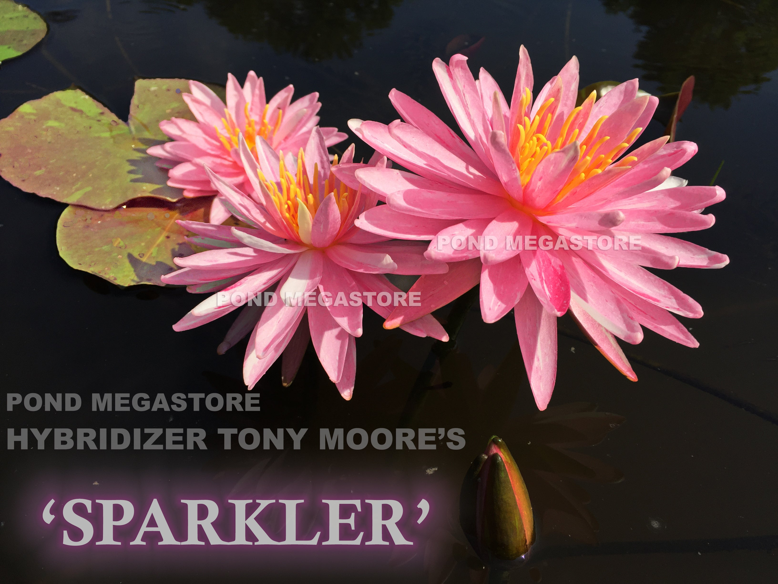 Sparkler Waterlily New Medium Hardy Water Lily