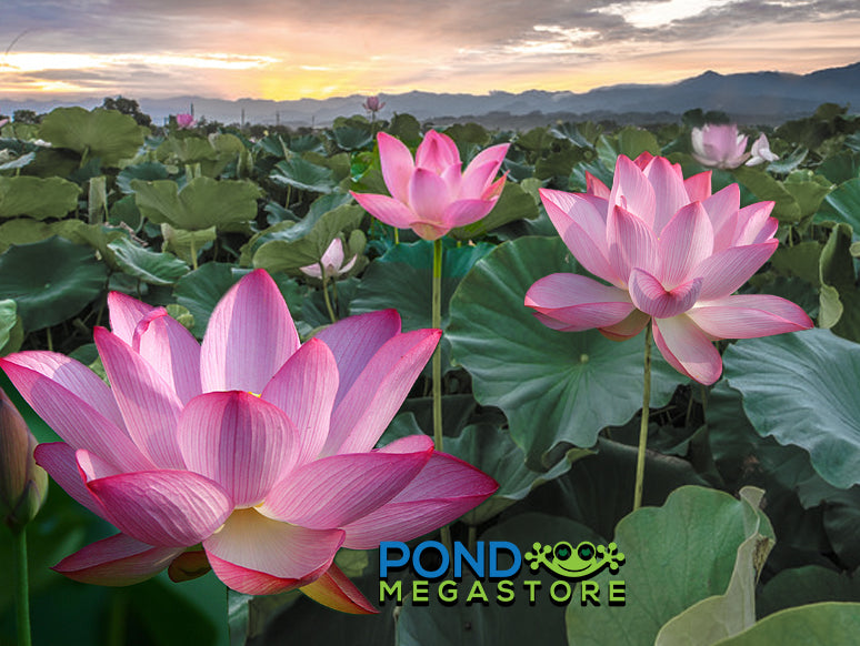 Red Lotus Flowers Pondmegastore