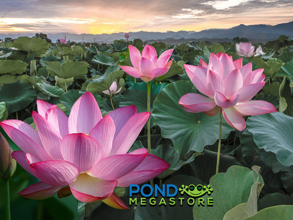 Sacred Lotus  <br>  Revered in many countries! <BR> Our most popular Lotus! Reserve ASAP for spring 2021