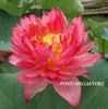 Senior Red Lotus (Hong Shouxing)  <br>  Dwarf-Medium  <br>  Sensational blooms! <BR>RESERVE TODAY for spring 2021!