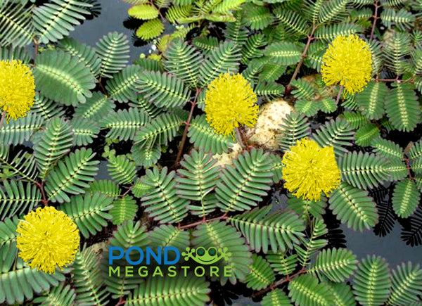 Water mimosa <br>Sensitive Plant (Neptunia aquatica/oleracea)<br>Temporarily out of stock, more being made 2021