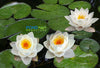 Siam Jasmine Water Lily <Br> Small-Medium Hardy Water Lily <br>
