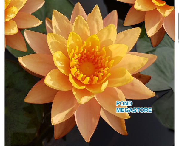 Siam Sunset Waterlily <br> Medium Hardy Water Lily  <br>