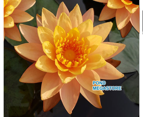 Siam Sunset Hardy Waterlily <br> Medium size waterlily