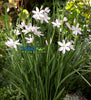 Snow Angel River Lily <br>(Schizostylis coccinea)