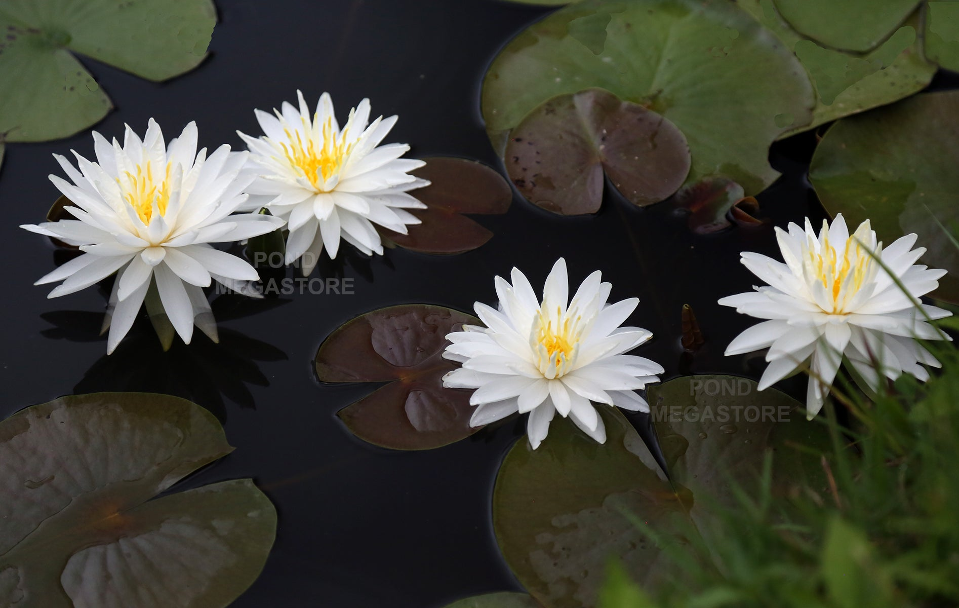 Water Lilies For Natural Earth Bottom Ponds Pondmegastore