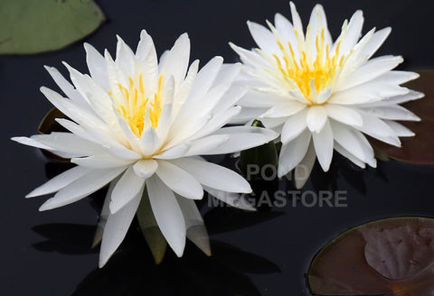 Snowflake Waterlily <br> Medium-Large Hardy Water Lily <br> Ships Spring 2019!