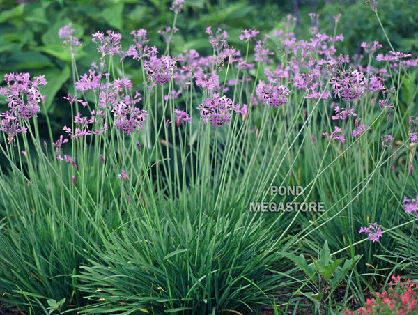 Society Flower (Tulbaghia Violacea) <br> More Available June 14th 2020<br> Blooms early summer into fall! <br>