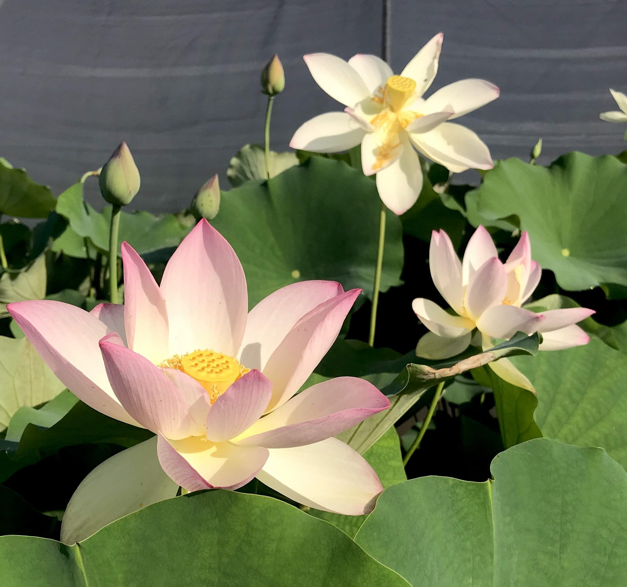 Tall Lotus Plants Are The Largest Flowering And Most Pondmegastore