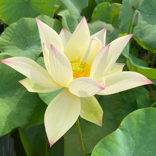 2021 Splendid Sunset Lotus  <BR> Reserve Now for Spring 2021!