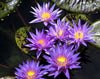 Star Of Zanzibar Water Lily <br> Day blooming <br> Medium-Large Water Lily