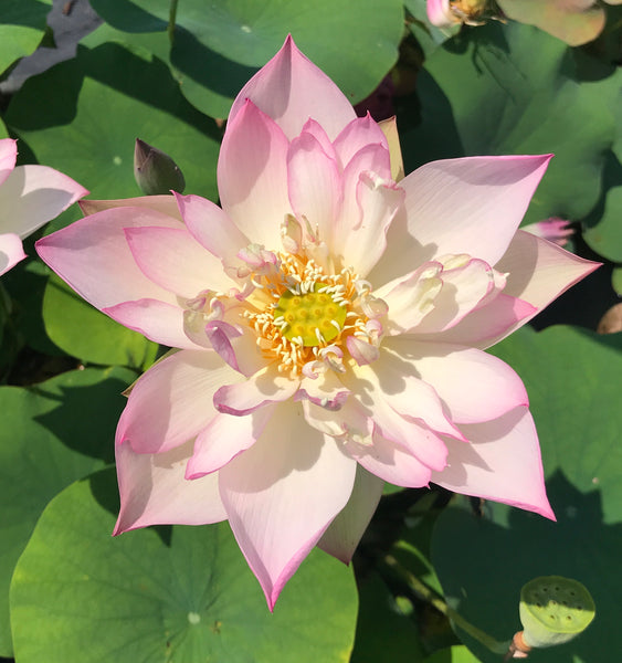 Storm Lotus 13  (Fengbao 13)  <br>  Tall  <br>  Soft-pink and creamy white blooms! <BR>RESERVE TODAY for spring 2021!      LP7