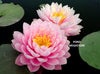 Strawberry Milkshake Waterlily <br> Large Hardy Water Lily <br>