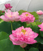 Sugar Pie Pink Lotus (D 3 Lotus)  <br>  Tall  <br>  Simply Spectacular! <BR>RESERVE TODAY for spring 2021!
