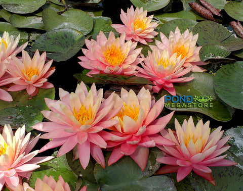 Sunfire Waterlily <br> Large Hardy Water Lily <br>