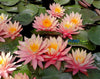 Sunfire Waterlily <br> Large Hardy Water Lily <br> A Pond Megastore Top pick! <br> Ships Spring 2021