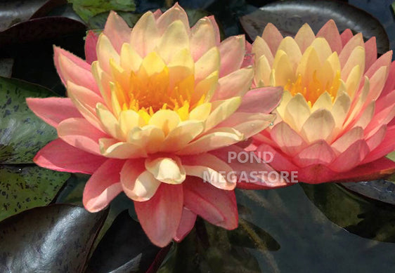 Sunfire Waterlily Pondmegastore Waterlilies Pond Plants Lotus