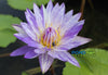 Blue Suwanna Waterlily  <br>  (Tropical Day Blooming Waterlily) <br> Sold Out
