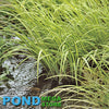 Variegated Sweetflag (Acorus Calamus) <br> Tall midlevel plant <br> Native, much better than cattails