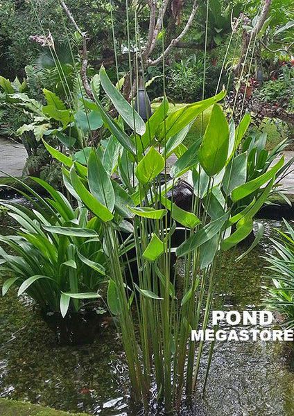 Thalia Dealbata <br> The PERFECT POND PLANT <Br> Our Favorite for so many reasons!