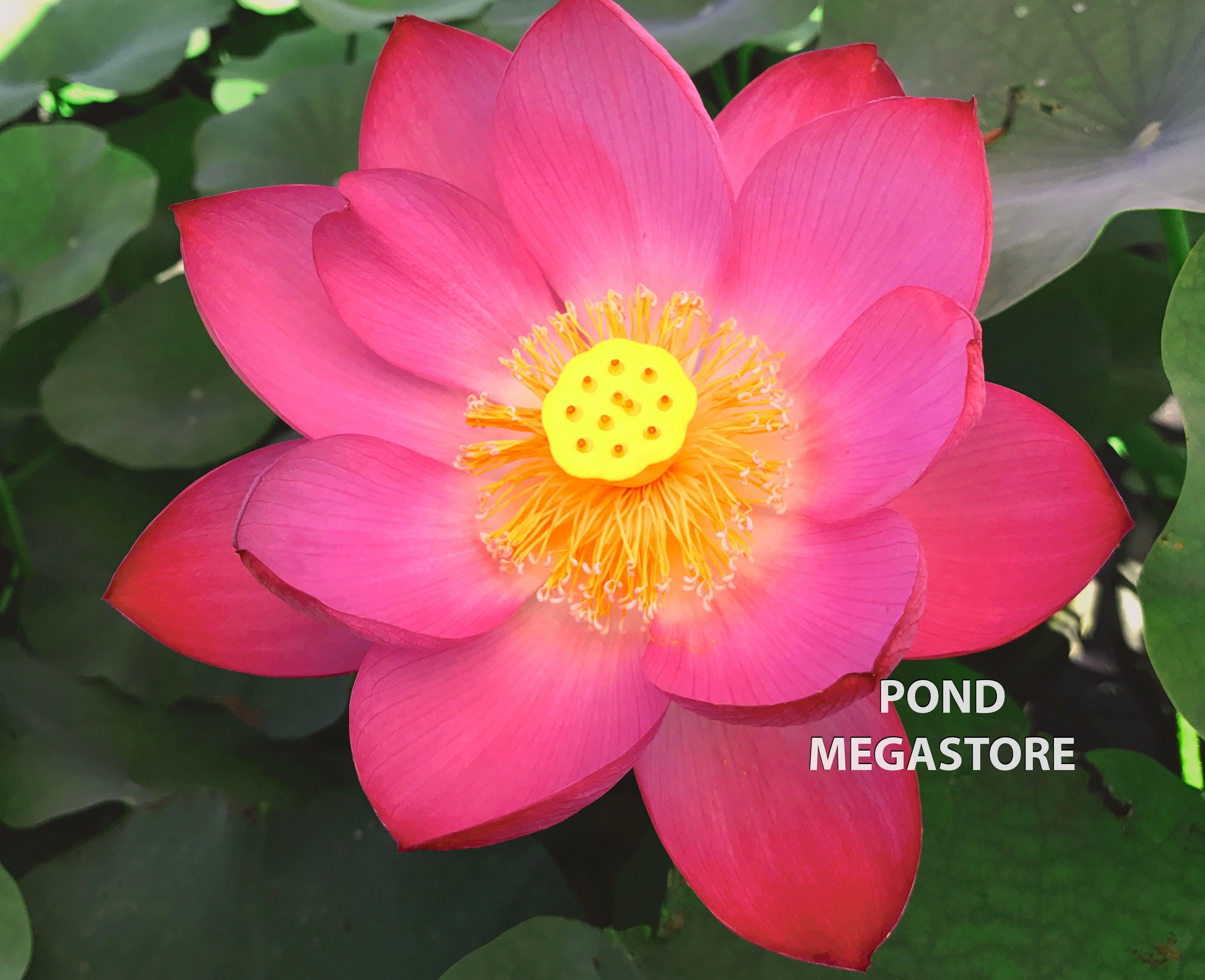Tall Lotus Plants Are The Largest Flowering And Most