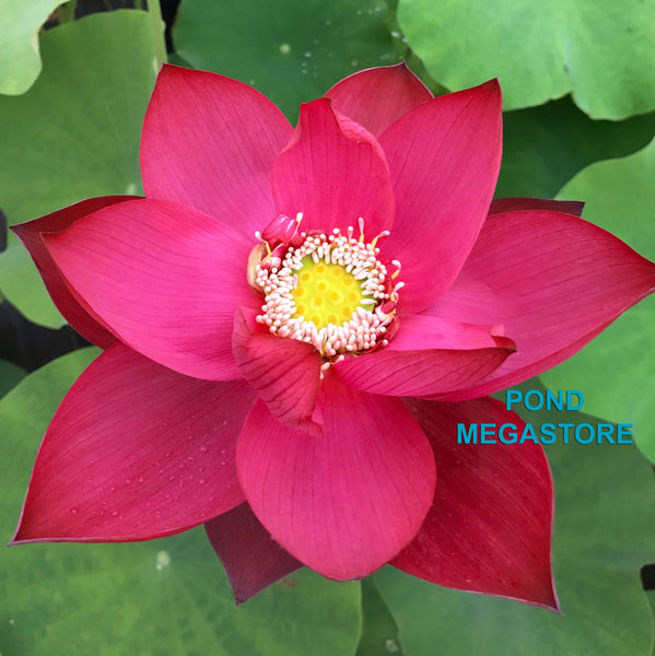 Titan Lotus <br> Tall  <br>  Spectacular, single-petal red! <BR> Reserve Sacred Lotus in OCTOBER for spring 2021!