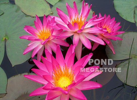 'Pink Splash'  Medium-Large <Br> Hardy Waterlily