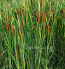 Graceful Dwarf Cattail <br> (Typha Laxmannii) <br> Probably the best cattail variety! <br> Plants Available Spring 2021