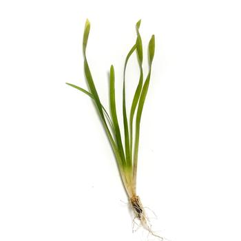 Vallisneria <br> Oxygenating Pond Plants <br> Great for goldfish and tadpoles!