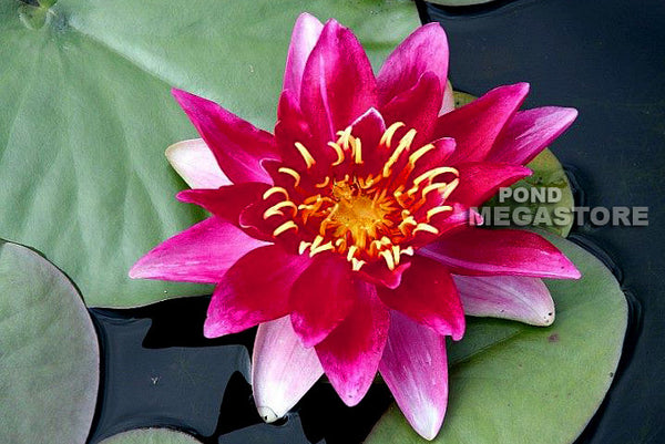 Vesuve Waterlily <br> Extra Large Waterlily