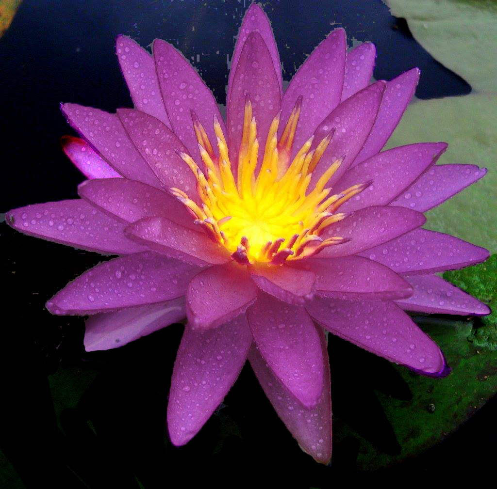 Violicious The Purple Winter Hardy Waterlily On Sale This Week