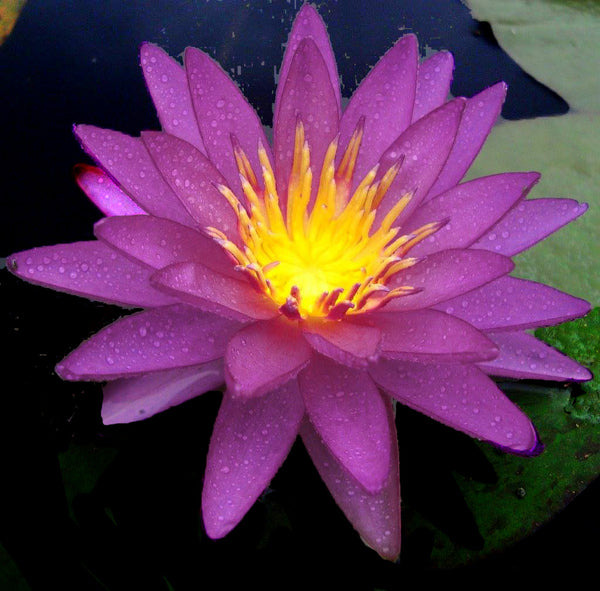 Violicious Waterlily <br> Purple Hardy Water Lily <br>