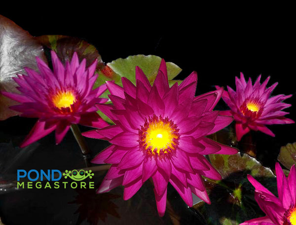 Virginia McLane Water Lily <br> Medium-Large Water Lily<Br> Day Blooming & Fragrant