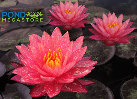 Wanvisa Waterlily <br> Medium Hardy Water Lily <br> Amazing & Award Winning!<br> Let us Catch up on Shipping! WATERLILIES RETURN APRIL 18th 2021