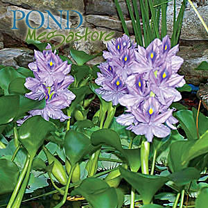 Water Hyacinths (Eichornia Crassipies)