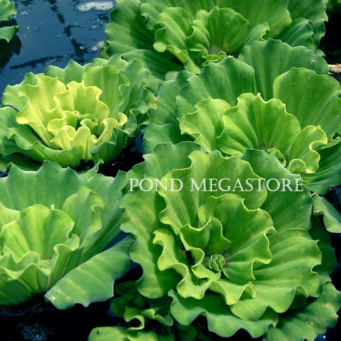 Curly Water Lettuce  <br> Rosette 3-4