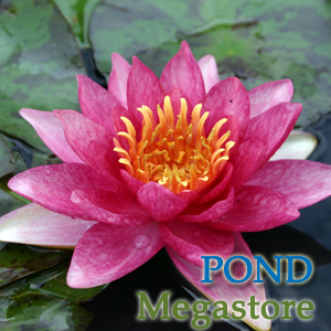 Andreana Waterlily <br> Small-Medium Waterlily
