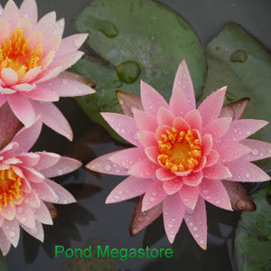 Colorado Waterlily <br> Large Hardy Water Lily <br>
