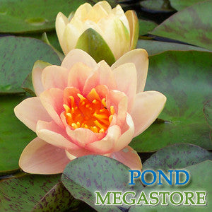 Comanche Waterlily