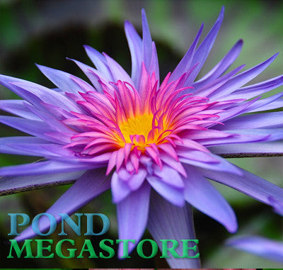 Foxfire Water Lily <br> Day blooming <br> Medium-Large Water Lily <br> Plants Available Spring 2021