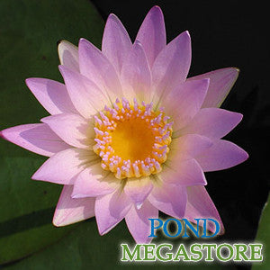 Hilary Waterlily <br> Medium-Large, Day Bloomer