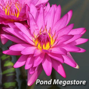 Hot Pink Waterlily