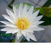 Innocence Water Lily <br> Day blooming <br> Medium-Large Water Lily <br>