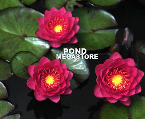 James Brydon Water Lily <br> Medium Hardy Water Lily <br>