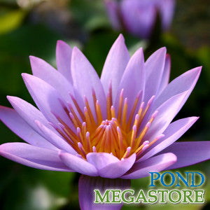 Key Largo Waterlily <br> Medium, Day Bloomer
