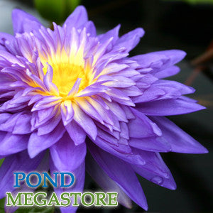 King Of Siam Waterlily