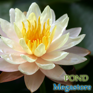 Mangala Ubol Water Lily <br> Medium-Large Hardy Water Lily  <br>A Pond Megastore Top pick!<br> Plants Available Spring 2021
